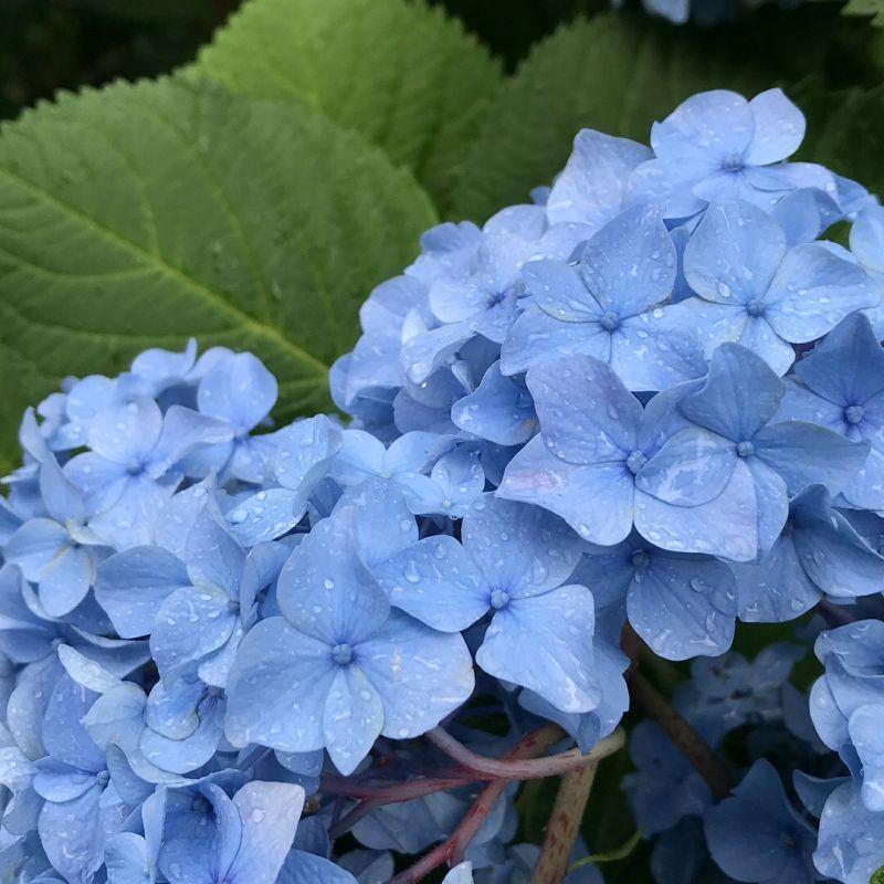 雨が上がりの御池通京都市役所近くの紫陽花